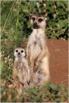 Meerkat mother and baby - Stock Photo