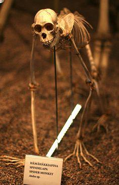Spider Monkey Skeleton