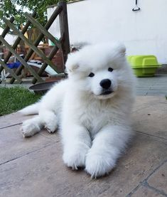 Things that make you go AWW! Like puppies, bunnies, babies, and so on. Samoyed Dogs, Pet Dogs, Dog Cat, Doggies, Cute Dogs And Puppies, I Love Dogs, Beautiful Dogs, Animals Beautiful, Cute Baby Animals