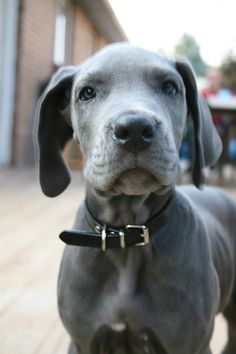 All About The Noble Great Dane Puppies Exercise Needs Big Dogs, I Love Dogs, Cute Dogs, Giant Dogs, Weimaraner, Animals Beautiful, Cute Animals, Blue Great Danes, Dane Puppies