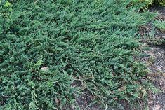 25 talajtakaró növény, melyekkel gyönyörűvé teheted a kertet! Backyard, Plants, Gardening, Cover, Patio, Lawn And Garden, Backyards, Plant, Planets