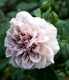 Rose Grey Pearl. Really nice rose flower, gardening, roses are loved