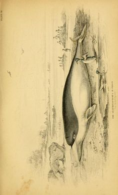 Whales / - Biodiversity Heritage Library