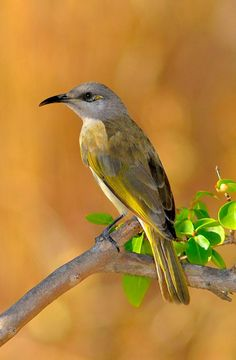 Brown Honeyeater (Lichmera indistincta). A nectar and insect eating bird widespread across Australia. photo: David Marle.
