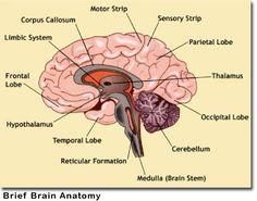 Metastatic Brain Tumors – Symptoms, Diagnosis and Treatments Brain Anatomy, Anatomy And Physiology, Human Anatomy, Occipital Lobe, Corpus Callosum, Anatomy Images, Frontal Lobe, Limbic System, Cards