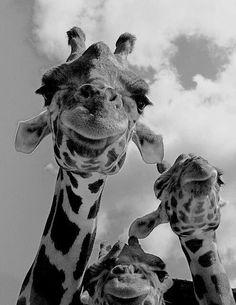 girafes selfie