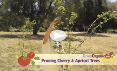 Did you do your summer pruning yet? Tricia's new video: Pruning Cherry Trees and Pruning Apricot Trees - Summer at www.GrowOrganic.com