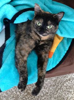 My lovely tortie cat, Cleo. :)