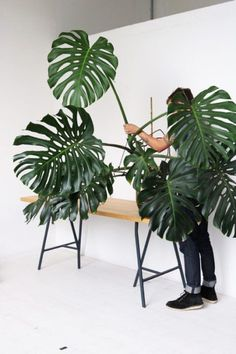 """Monstera deliciosa—once again, I don't know what I was thinking when I bought one of these. """"Pretty Plants, Cool Places and Friends - An update from Clever Bloom"""" Cool Plants, Green Plants, Tropical Plants, Large Plants, Plant Aesthetic, Plants Are Friends, Blooming Plants, Interior Plants, Interior Doors"""