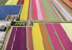 Stina Ballerina: Tulipaner i lange baner