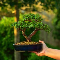 """""""Finally graduated to a bonsai pot after years in a plastic growing container. The portulacaria afra is one of the most versatile species for bonsai. Jade Bonsai, Succulent Bonsai, Succulents Garden, Planting Flowers, Bonsai Pruning, Bonsai Plants, Bonsai Garden, Mini Bonsai, Indoor Bonsai"""