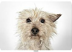 New York, NY - Yorkie, Yorkshire Terrier. Meet Penelope a Dog for Adoption. Portrait by Richard Phibbs.