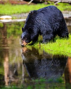 May in Yellowstone: Bathing Black Bears | Yellowstone National Park