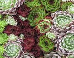 Sempervivum Mixture - Houseleek / Liveforever  200 Seeds  These popular succulents are originally from an area from Morocco to Iran. More comonly known as houseleeks, or less commonly known as liveforever, they are drought resistant, they keep their leaves year round, and make a great addition to gardens, and are among the most frost resistant of all succulents.  They require only moderate watering in summer and may require some protection from extreme sun, and enjoy a well drained soil…