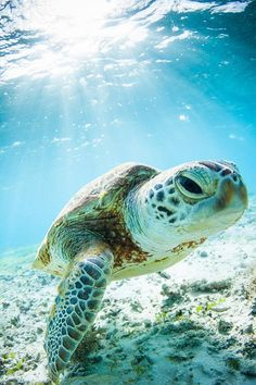 Young Okinawan Sea Turtle (by Pete Leong):