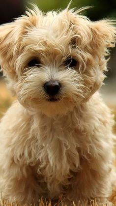 Everything we admire about the Funny Havanese Pup Havanese Puppies, Cute Puppies, Dogs And Puppies, Yorkie Puppy, Havanese Grooming, Cavapoo, Animals And Pets, Baby Animals, Cute Animals