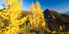 my favorite kind of tree is a larch (hence, the username).  :)  These unique deciduous conifers have needles that turn yellow in the fall.