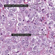 Normal: Adrenal gland - medulla 400x