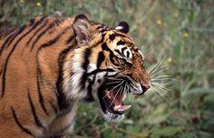 wild-diary: Tiger Snarl |Gavin Bell
