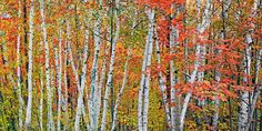 Colorful Birch Trees : Northern Michigan : Mike Barton Photography