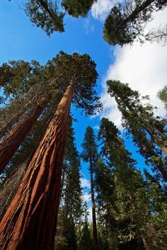 California Redwood Yosemite National Park | 06 Sep. 2012. Yosemite National Park, CA. Redwoods at Mariposa Grove ...