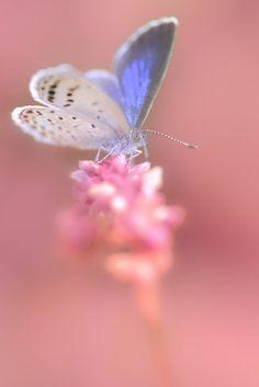 Pale Grass Blue ヤマトシジミ (October 19, 2013) (by Firepaw210)