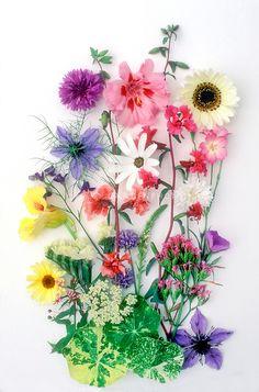 Studio Scans of cut flower arrangements on white backgrounds, ready for pressed flowers, Coreopsis, Nasturtiums Tropaeolum, Osteospermum, Hibiscus, Geranium, mixed bunch