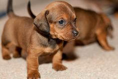 Brown Dachshund Puppy (Explored) | Flickr - Photo Sharing!