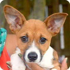 Huntley, IL - Corgi. Meet Minnie, a puppy for adoption…