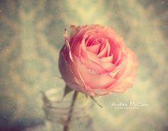 Rose| http://roseflowergardens.blogspot.com