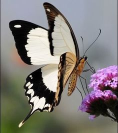 Common Name: Mocker Swallowtail Scientific Name: Papilio Dardanus Other Names: Flying Handkerchief Origin: Africa Butterfly Pictures, Butterfly Flowers, Butterfly Wings, Butterfly Kisses, White Butterfly, Peacock Butterfly, Madame Butterfly, Butterfly Template, Butterfly House