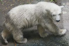 Kali, one of two polar bear cubs at the Buffalo Zoo, wanders around his exhibit, Wednesday, July 10, 2013.  (Derek Gee/Buffalo News)