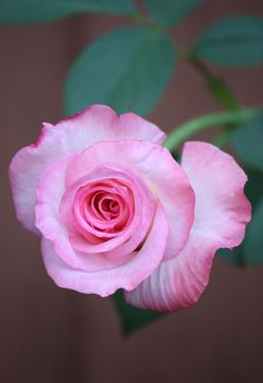 hello rosy. rosebud.