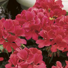 Caliente® Coral - Geranium - Pelargonium   Proven Winners