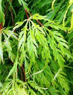 Leaf from the Acer palmatum 'Palmatifidum' Japanese maple.