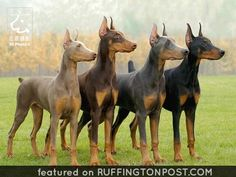 Doberman Pinscher- officially recognized in four colors: black, blue, red (brown) and isabella (fawn). no matter the color, a Doberman always has tan points. Big Dogs, I Love Dogs, Cute Dogs, Dogs And Puppies, Doggies, Doberman Love, Doberman Puppies, Brown Doberman, Pet Dogs