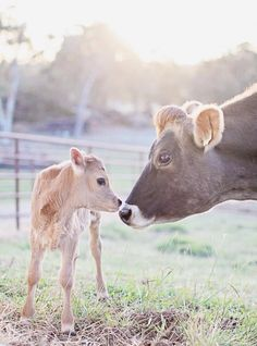 i love cows and their babies