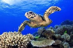 Juat cruising the Great Barrier Reef as you do! #turtle #greatbarrierreef #marinelife #greatbarrierreef #torpicalnorthqueensland #tnq #queensland #qld #australia by explorelovetravelaus http://ift.tt/1UokkV2