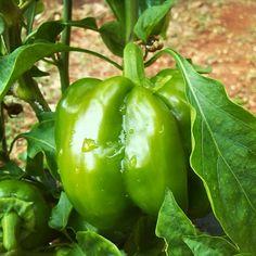 Esse pimentão tem história de superação . Vamos lá fazer uma visita ao blog, ter um dedinho de prosa e ver que dicas bacanas eu passei sobre o cultivo . #pimentão #pimentao #hortanacidade #hortaemcasa #jardinet_blog #horta #organico #semagrotoxico
