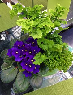 One of our indoor arrangements: African violet, maidenhair fern and selaginella moss. Although African violets like indirect light, they may not bloom in very low-light conditions.