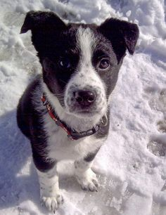 Chevy the Border Collie Mix