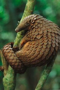 Pangolin aka scaly anteater or Trenggiling.  Often compared to a walking pine cone or globe artichoke.  It can curl up into a ball when threatened, with its overlapping scales acting as armour.  The scales are razor-sharp, providing extra defence. It is also able to spray a noxious gas similar to a skunk.