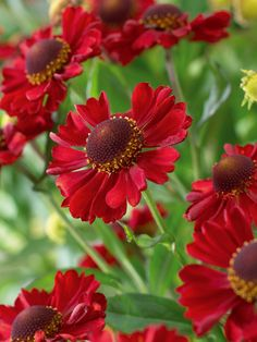 Helenium 'Ruby Charm'. I don't understand why more gardeners don't grow helenium. These are scrumptious flowers.