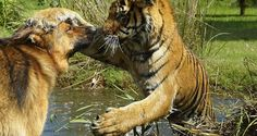 Kinwah y Rumble, un tigre y un pastor alemán que son grandes amigos desde que nacieron