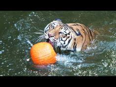 big ktties playing w pumpkins