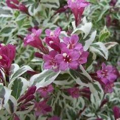 my monet weigela - Yahoo Image Search Results