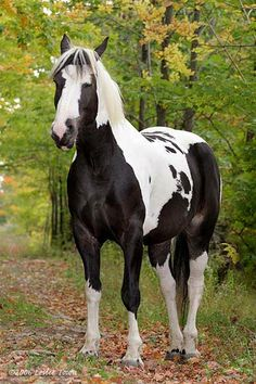 Pinto named Booker - Beautiful markings in black and white.