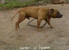 Bull Terriers, Pitbull Terrier, Pit Dog, Dog Line, Pitt Bulls, American Pitbull, Bully Dog, Real Dog, Dog Games