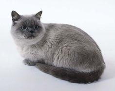 Grey Colour-Point British Shorthair