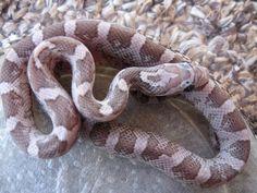 Corn Snake - Charcoal Lavender Morph